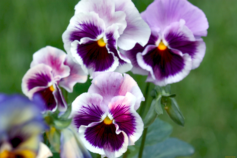 Анютино глазки цветы фото